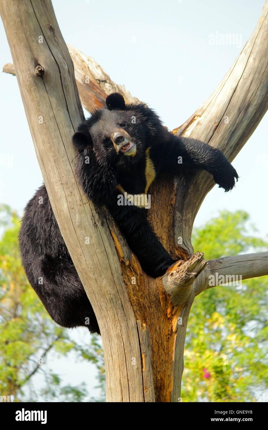 Asian Black Bear or the Himalayan Black Bear (Ursus thibetanus or Selenarctos thibetanus) climbing tree at National - Stock Image
