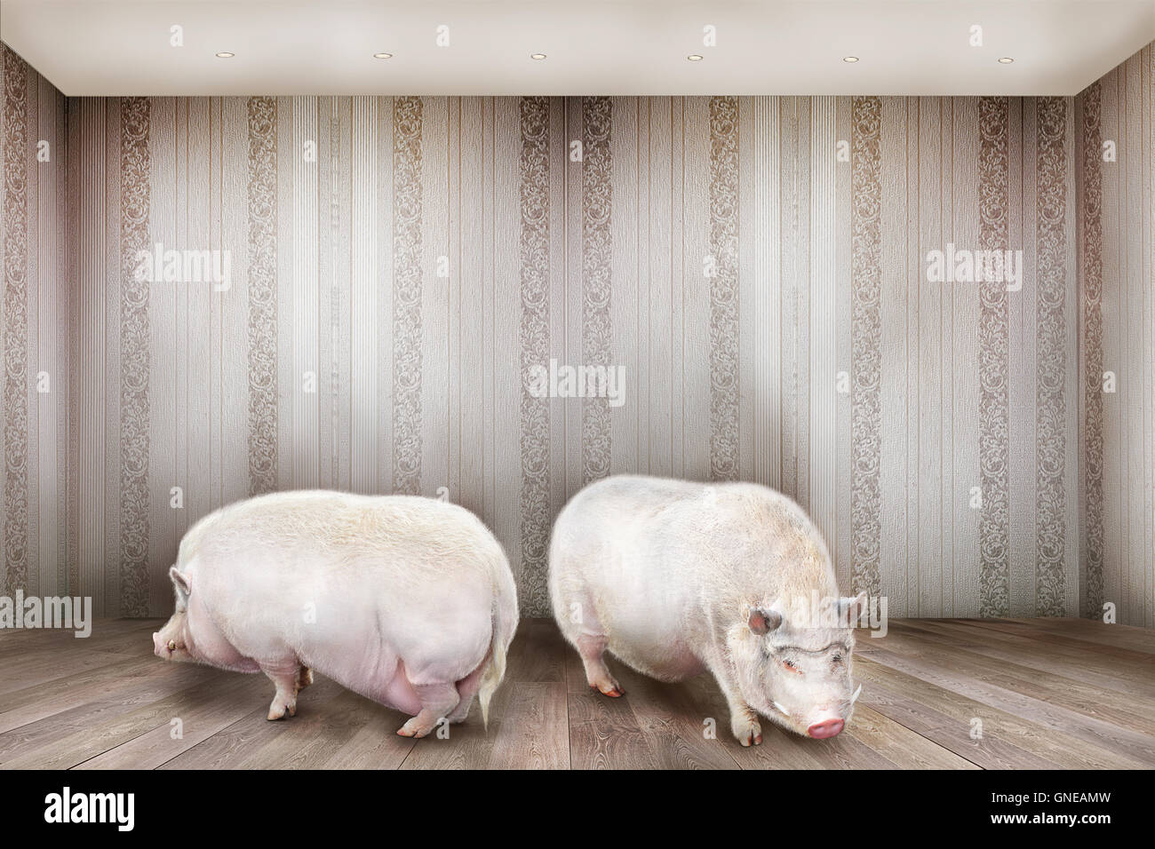 Creative concept. Two pigs stand in the room. - Stock Image