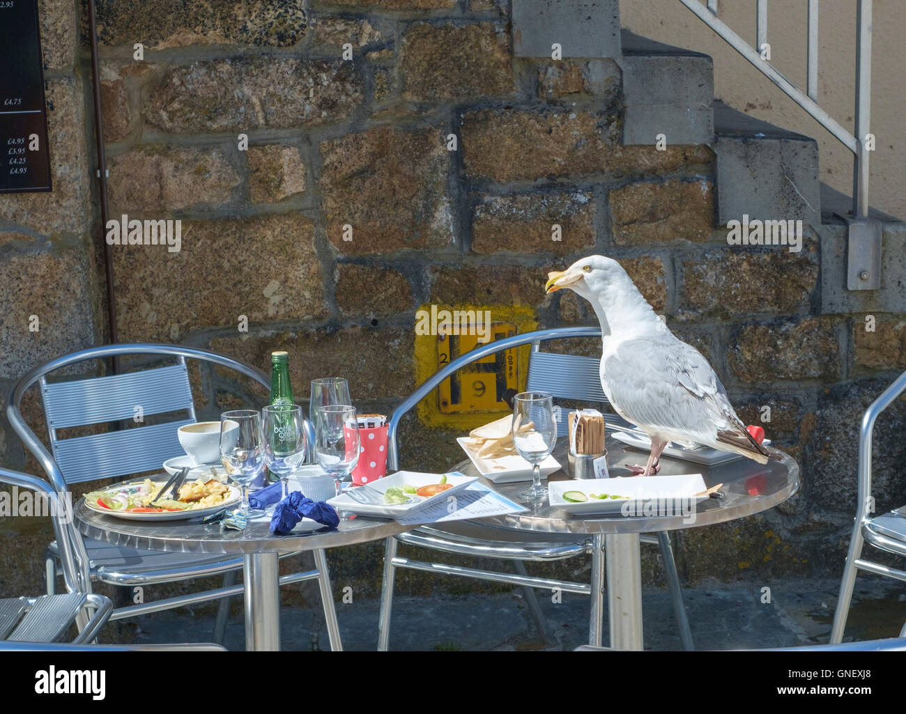 St Ives a seaside town in Cornwall England UK Scavenging seagull pest - Stock Image
