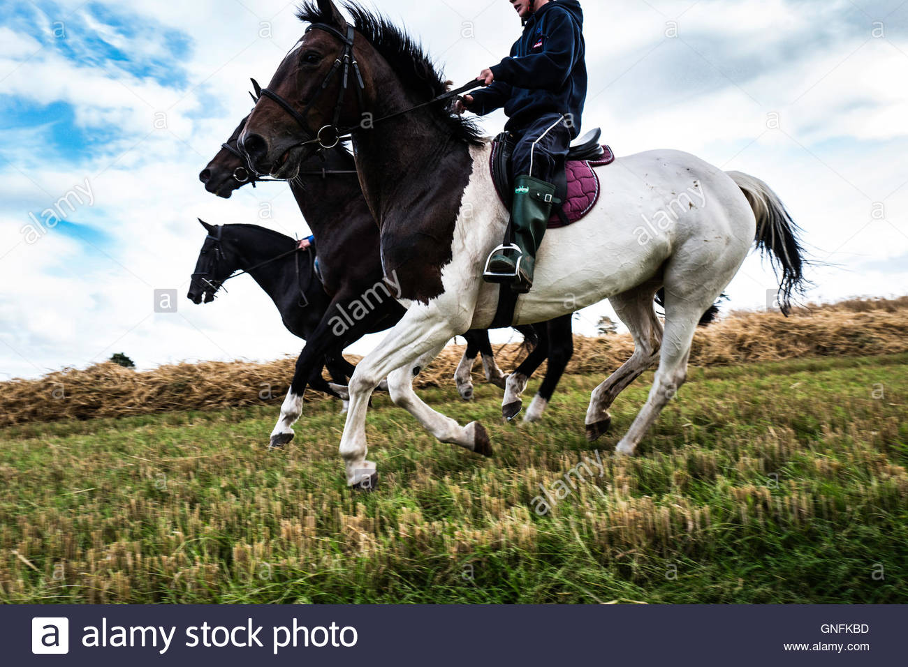 Morebattle, Kelso, Scottish Borders, UK. 31st August 2016.  The MacFayden family canter ponies in a stubble field - Stock Image