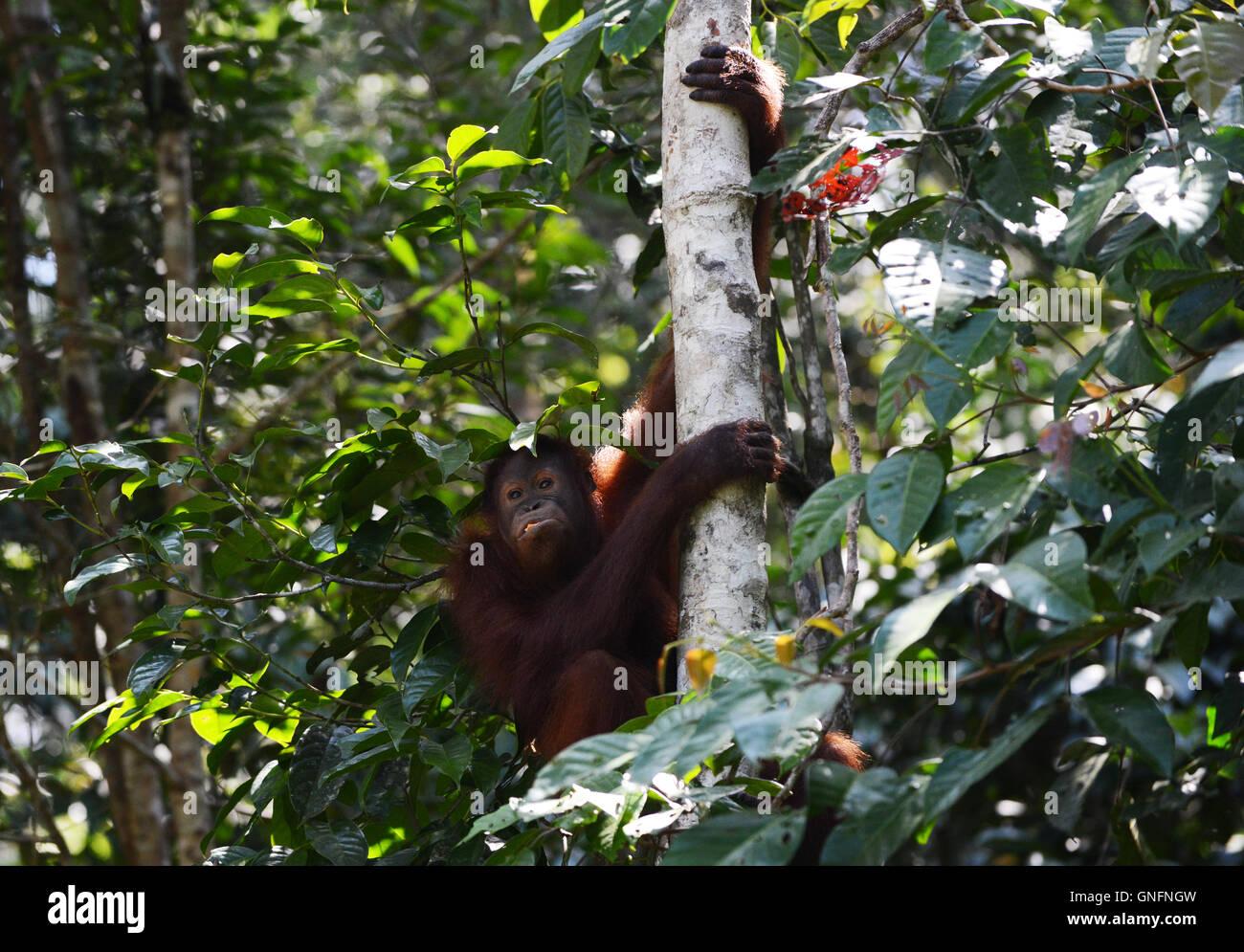 A wild Orangutan in the jungles of Borneo. - Stock Image