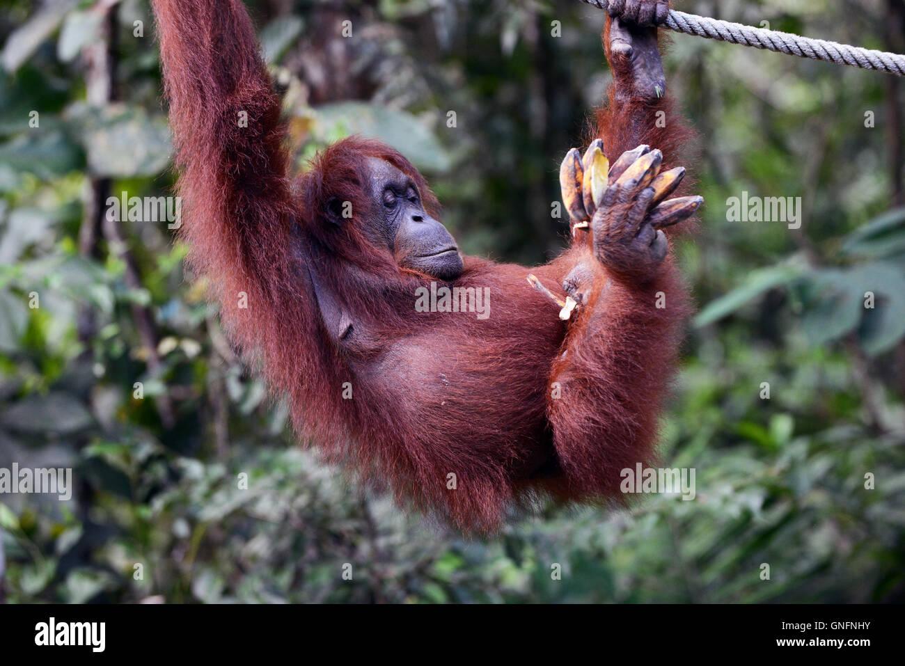 Feeding the Semi-wild Orangutans at the Semenggoh rehabilitation center near Kuching, Sarawak. - Stock Image