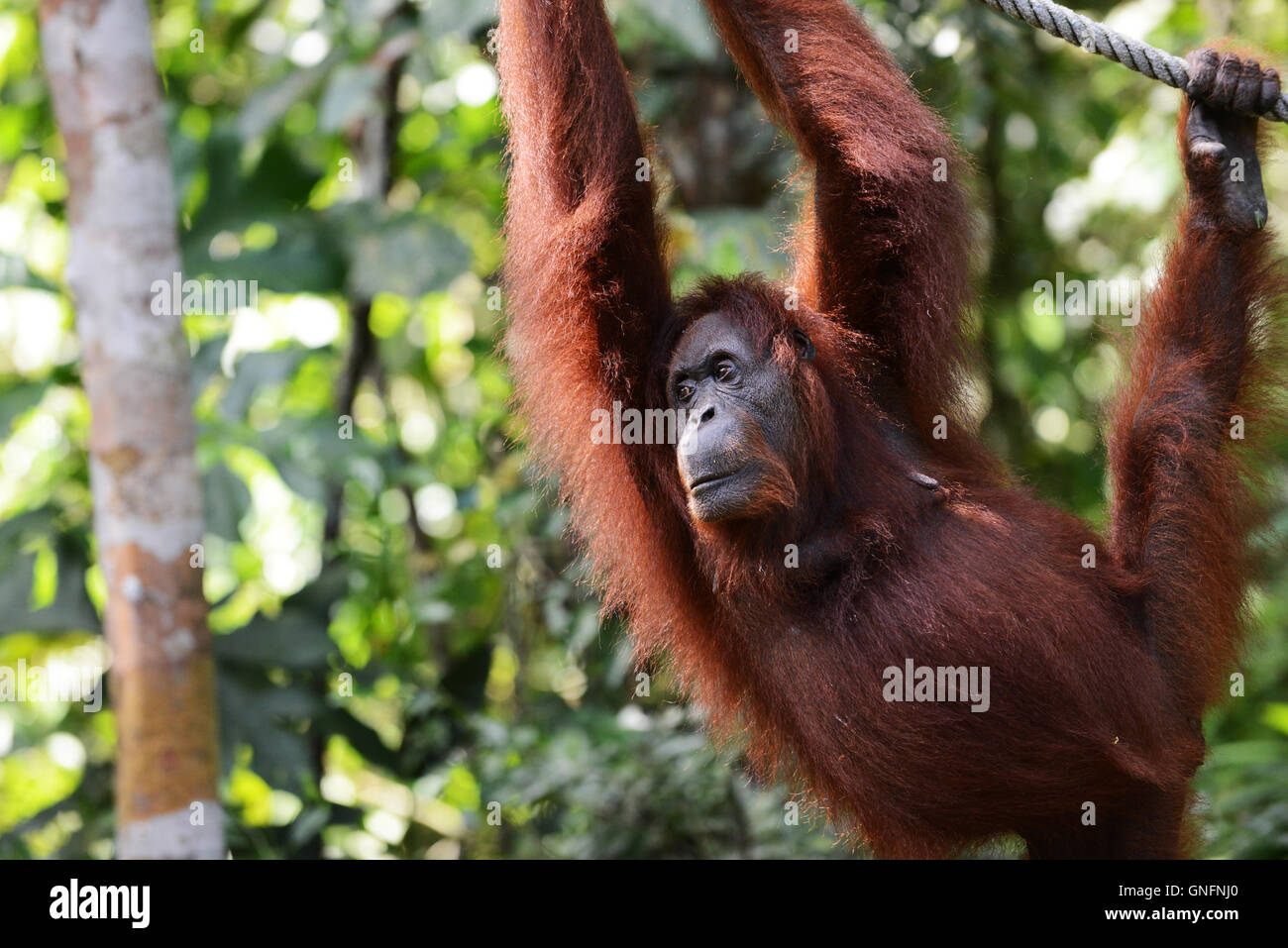 A female Orangutan waiting to be fed at the Semenggoh rehabilitation center near Kuching, Sarawak. - Stock Image