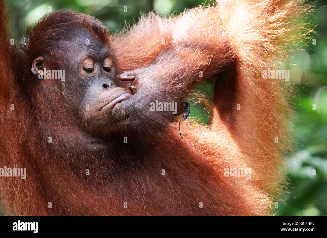 A cute young & playful Orangutan at the Semenggoh nature reserve near kuching, Sarawak. - Stock Image