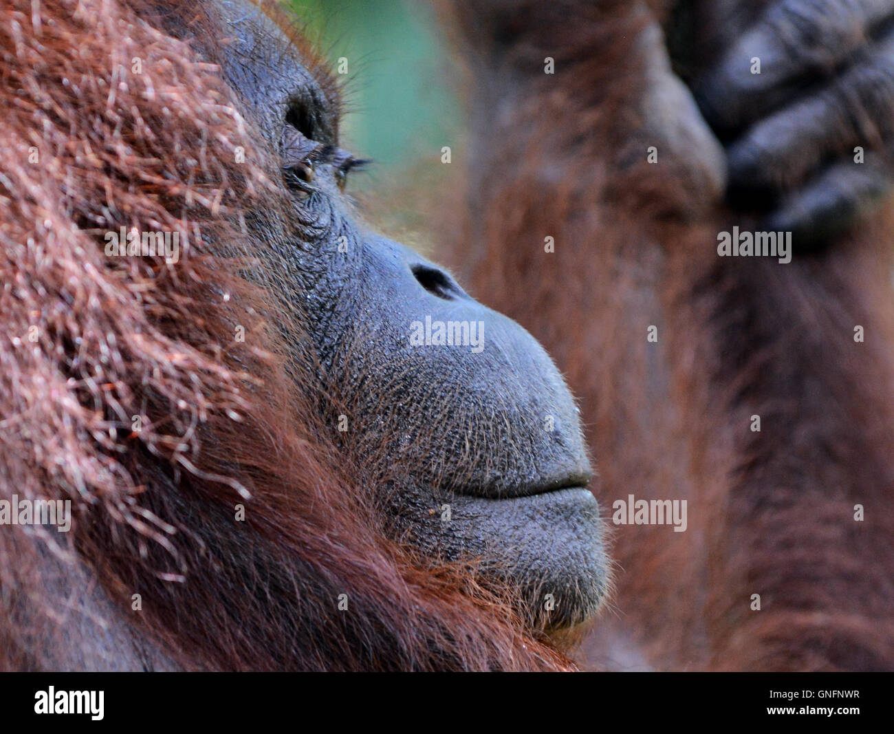 Portrait of an Orangutan taken in the forest at the Semenggoh nature reserve near Kuching. - Stock Image