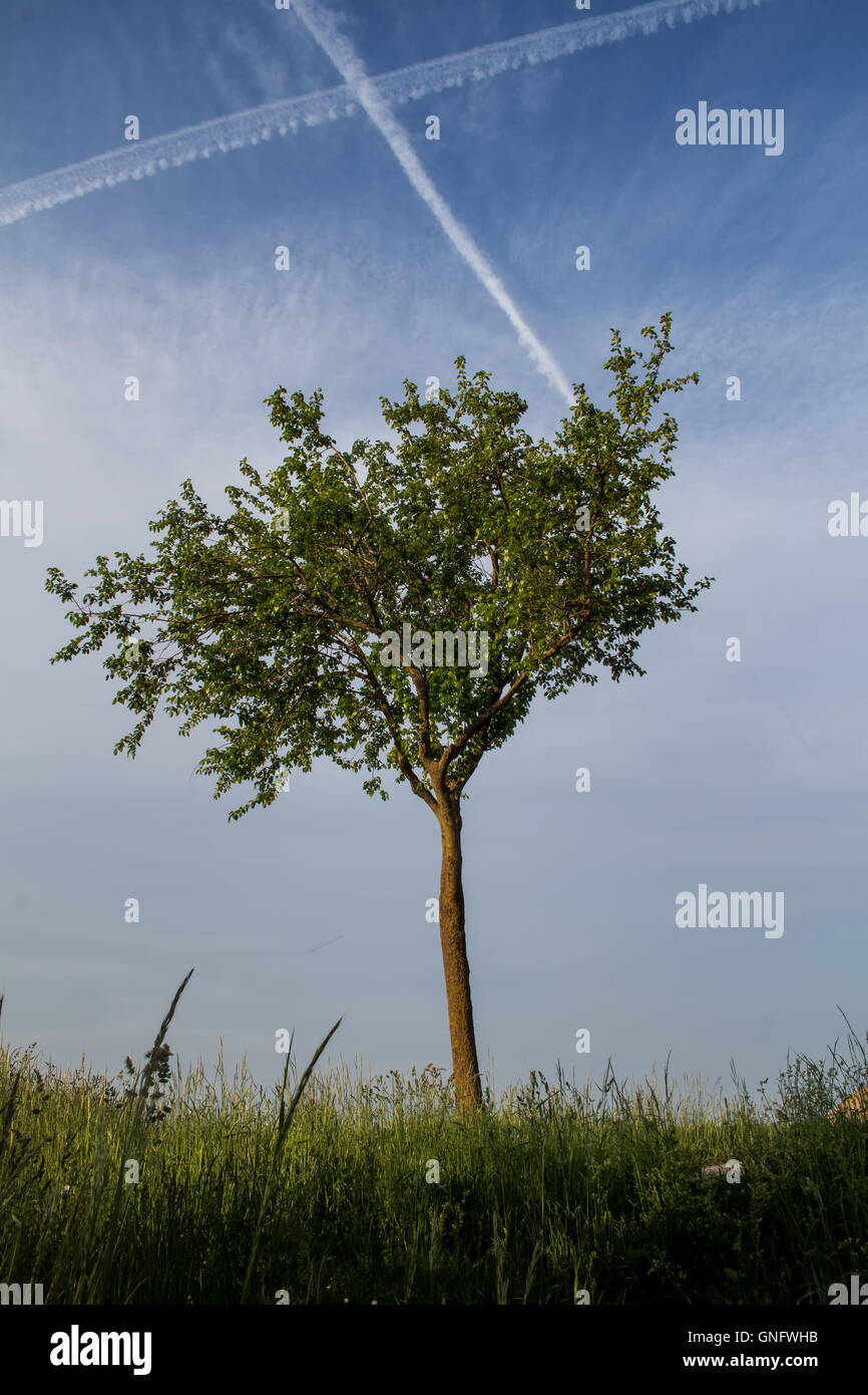 Lonely tree in the meadow. Summer blue sky with some clouds. Trail cross in the sky. - Stock Image