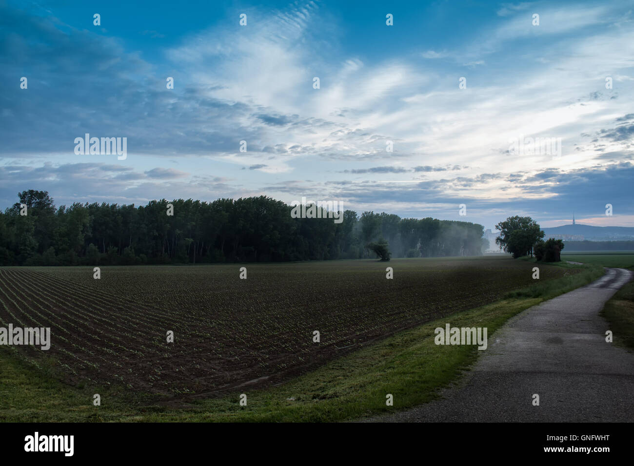 Early morning after a storm. Cloudy sky. Field with small spring cereals. A small forest at the end of the the field. - Stock Image