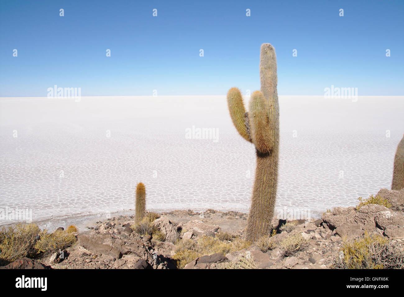 Cacti (Trichocereus pasacana) on Isla Incahuasi with Salar de Uyuni, Bolivia Stock Photo