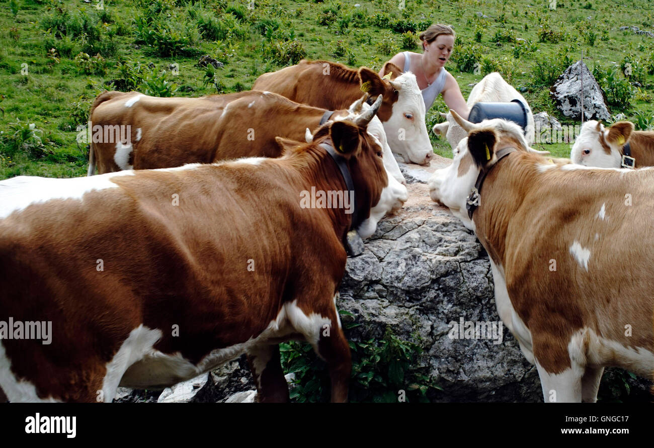 Cows on the Bucheralm at Kreuth, 2014 Stock Photo