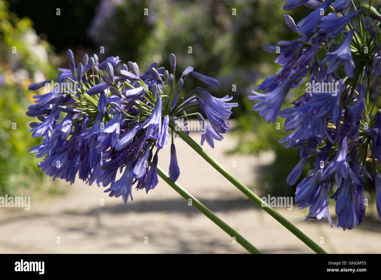 Agapanthus - Lily of the Nile - is the only genus in the subfamily Agapanthoideae Stock Photo