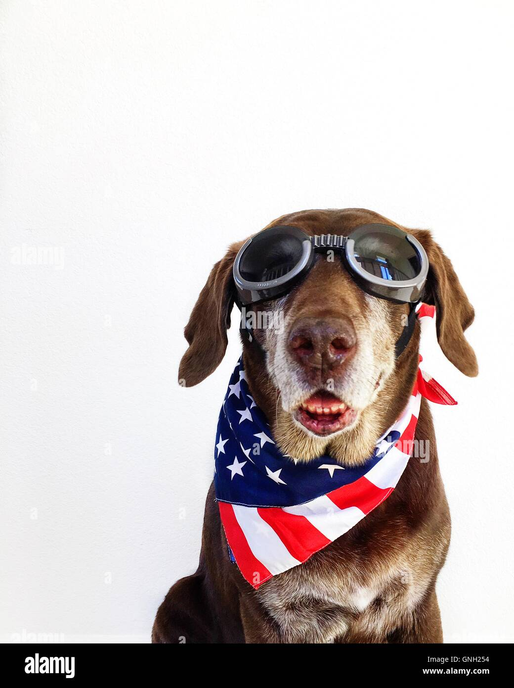 Portrait of a Chocolate Labrador retriever Dog wearing goggles and stars and stripes american neckerchief - Stock Image