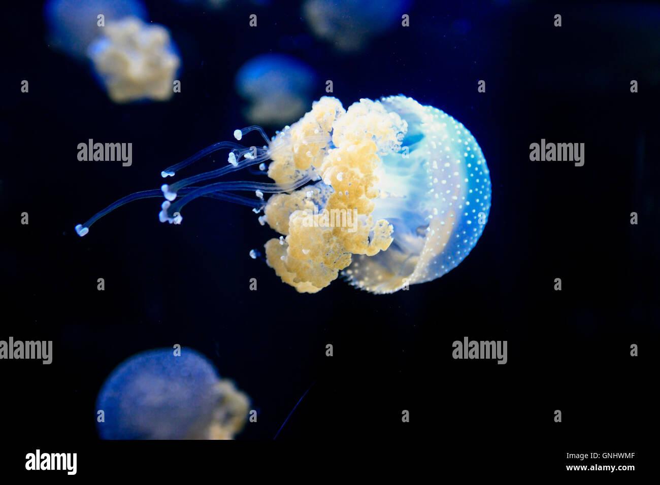 Australian spotted Jellyfish - Phyllorhiza Punctat. - Stock Image