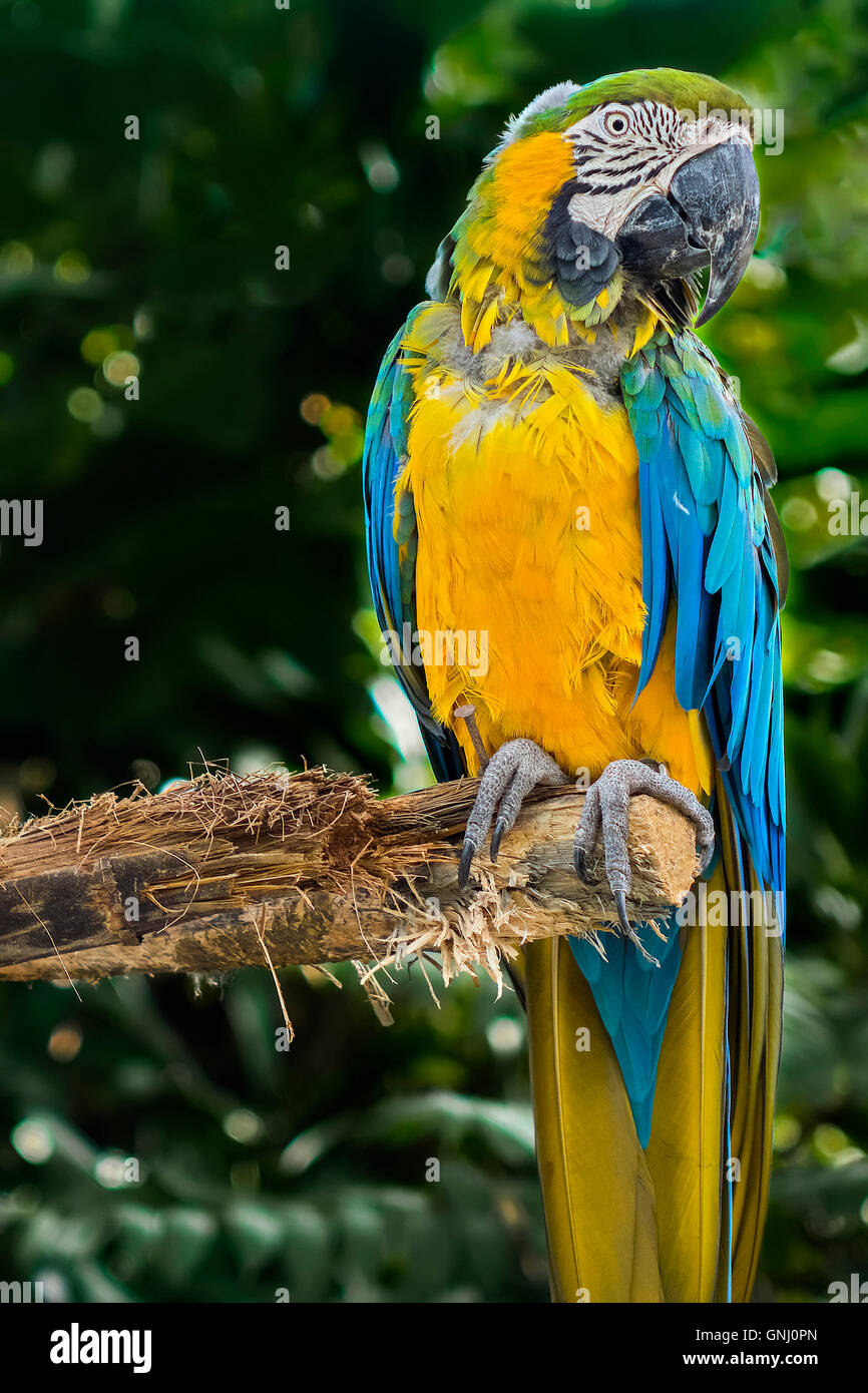 Blue And Yellow Macaw Sitting On A Branch Guadeloupe West Indies - Stock Image