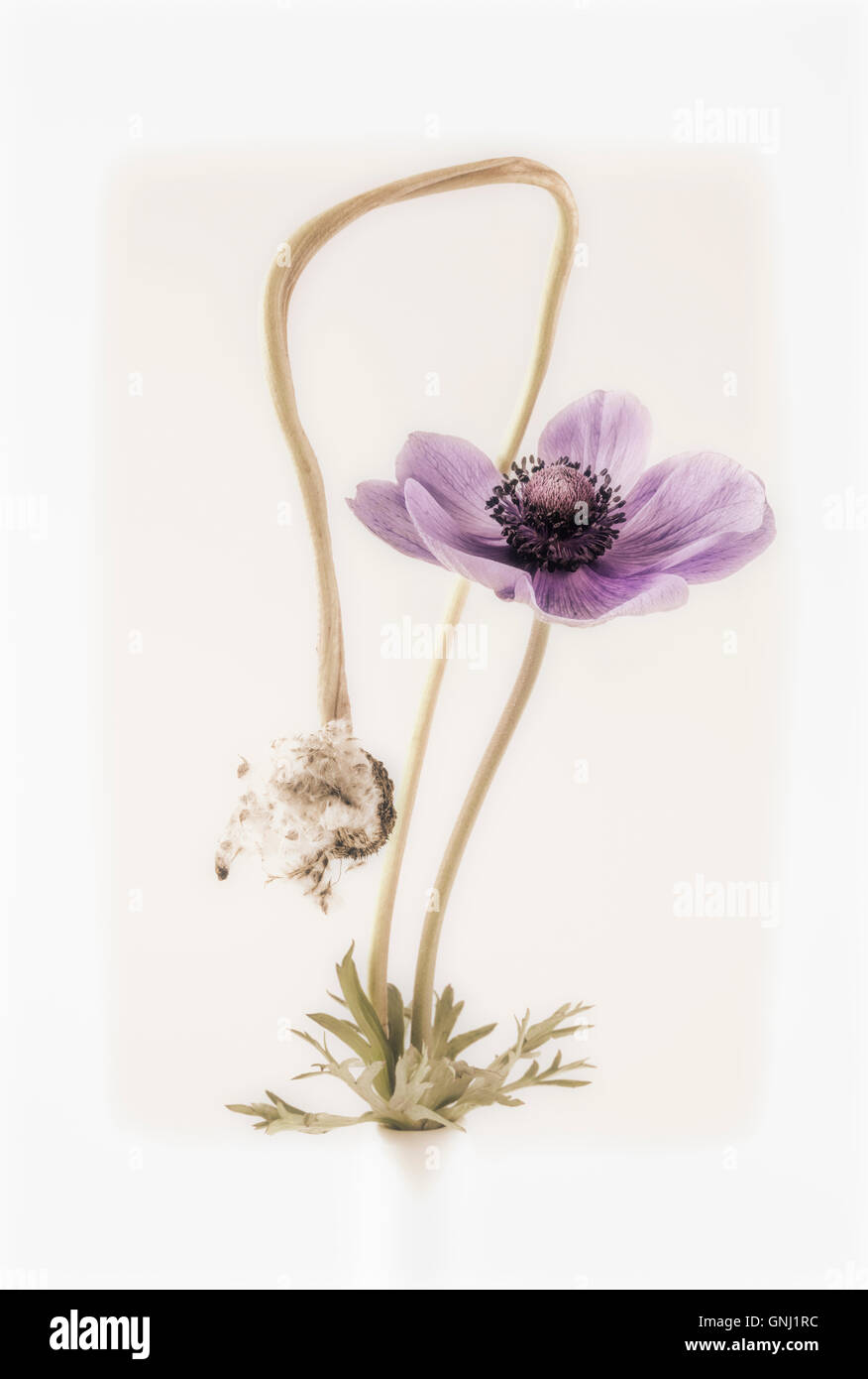 Anemone and Anemone Seed head - Stock Image