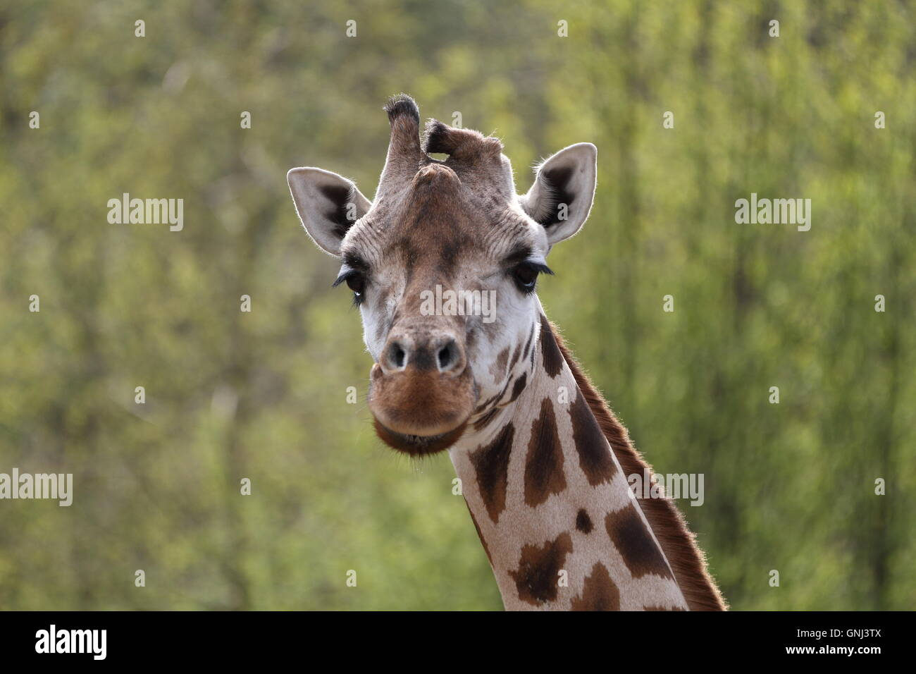 A photo of the head of a young female giraffe (Giraffa camelopardalis) seen from the side, with a blurry background. - Stock Image