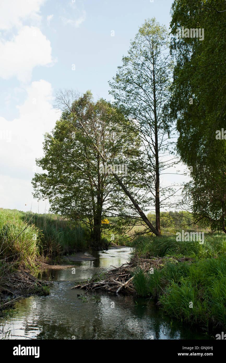 beaver lodge on small river or beaver dam - Stock Image