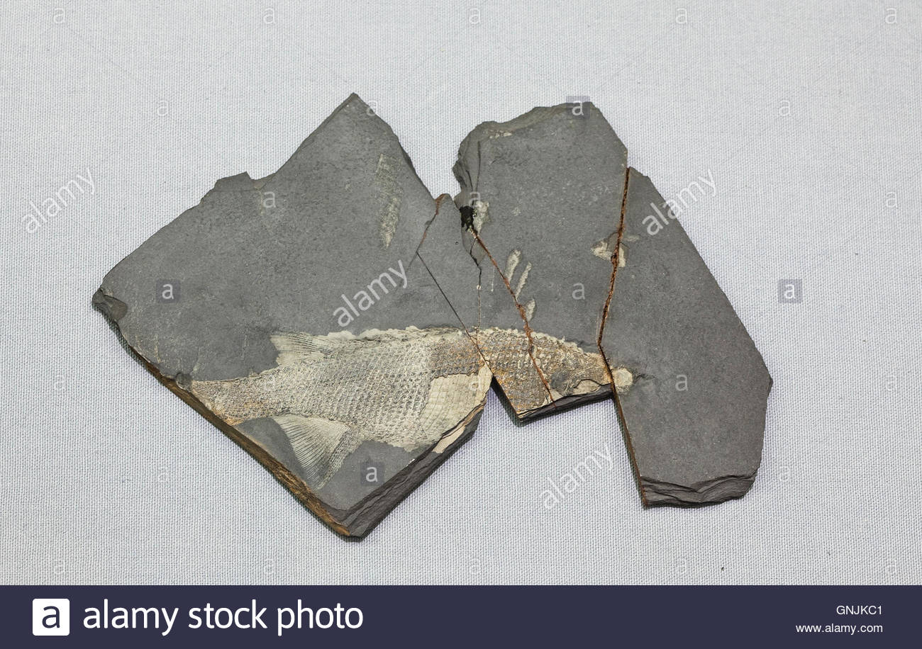 Fossil Osteichthyes,Actinopterygii,The Mesozoic Age - Stock Image