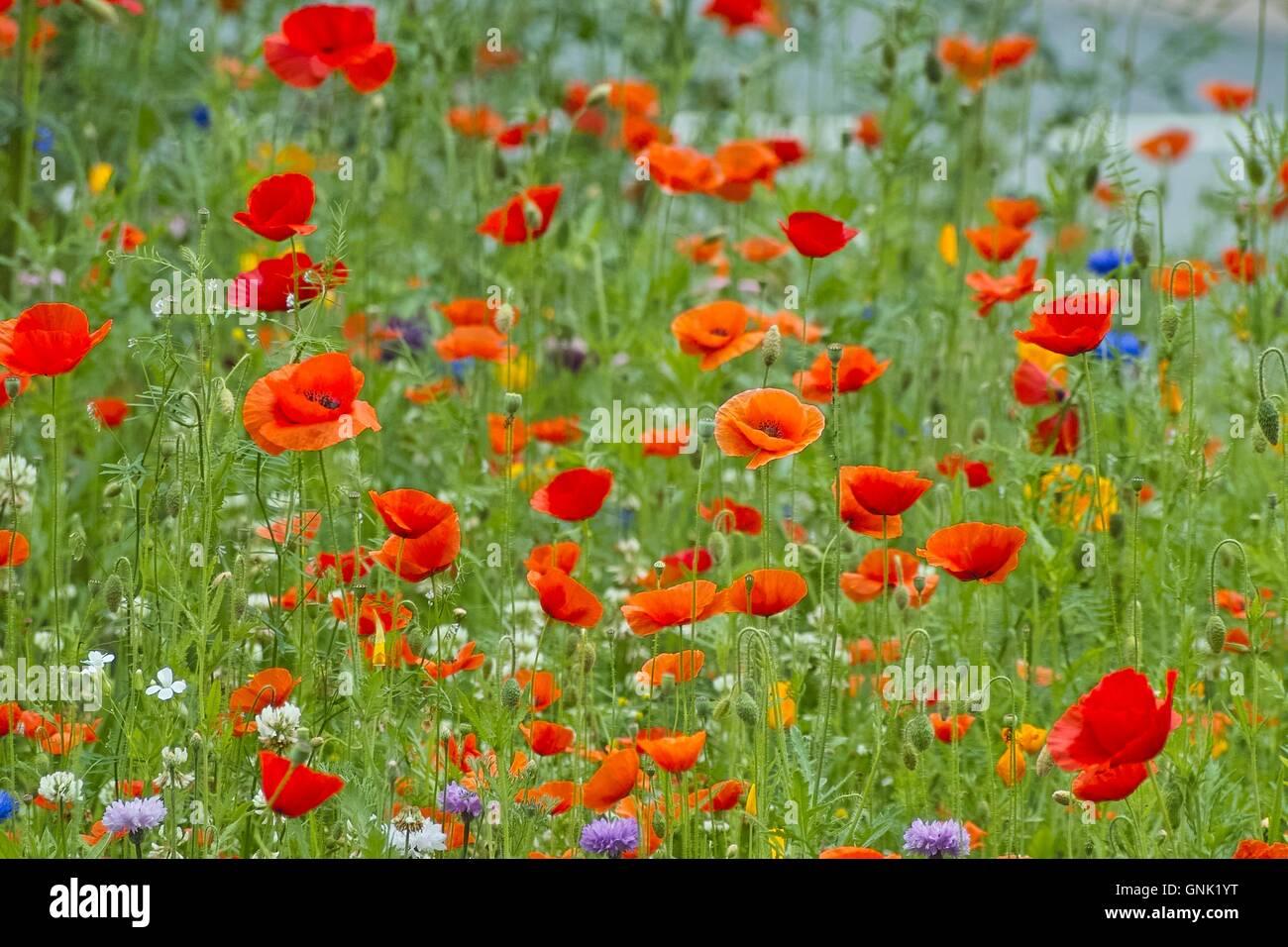 Field Poppy Flower Field Wildflowers Papaver Rhoeas Stock Photo