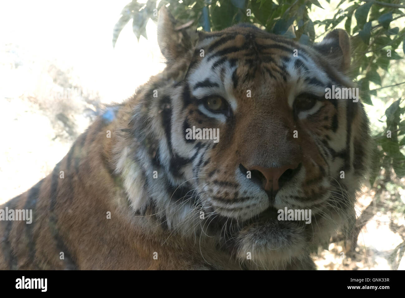 Tiger looking at camera. Asian wildlife in zoological gardens, wild animal in zoo - Stock Image