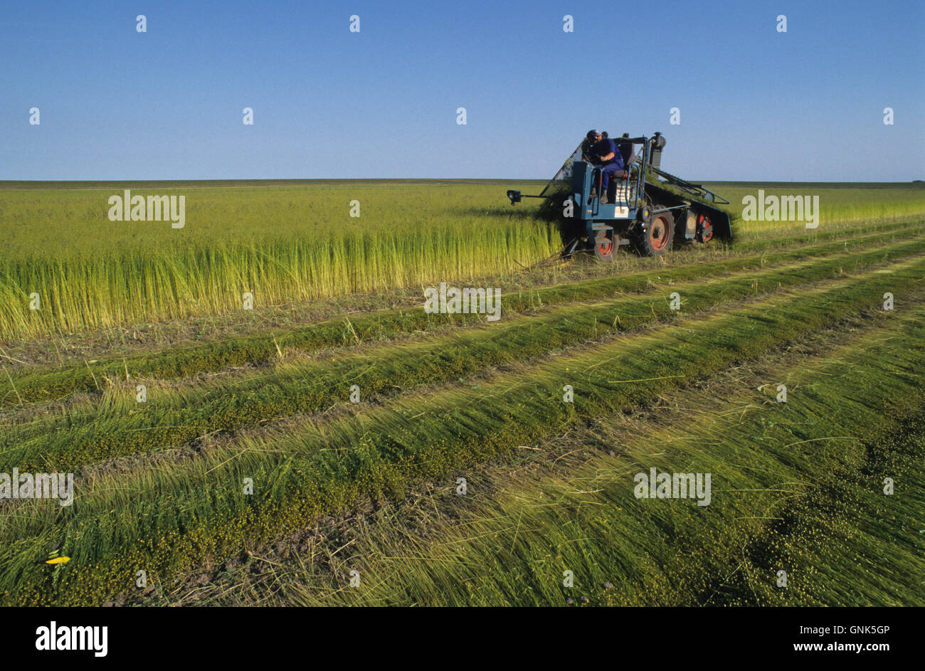 GERMANY, Pellworm, harvest of flax with machine, the natural fibre is used for textiles - Stock Image