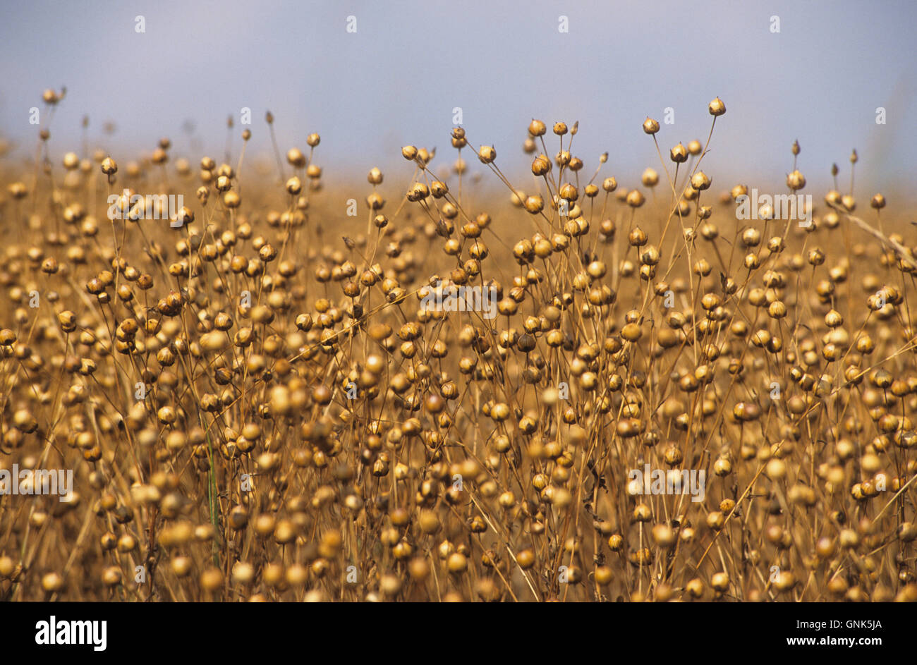 Germany, field with flax plant used as linseed - Stock Image
