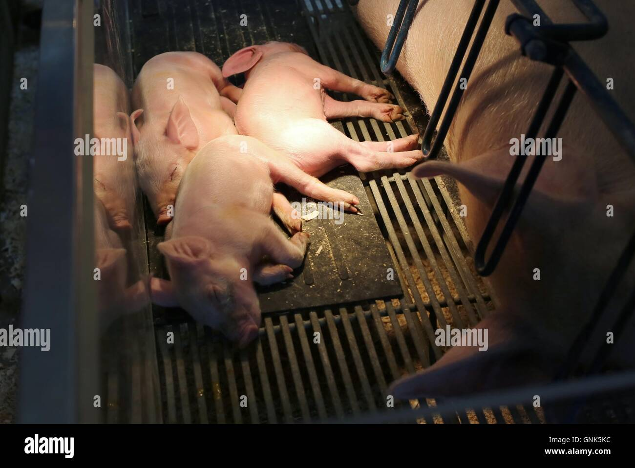 Piglets sleeping near their mother in a gestation crate. - Stock Image