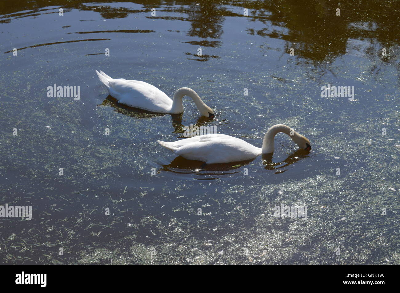 Two swans on a lake Stock Photo