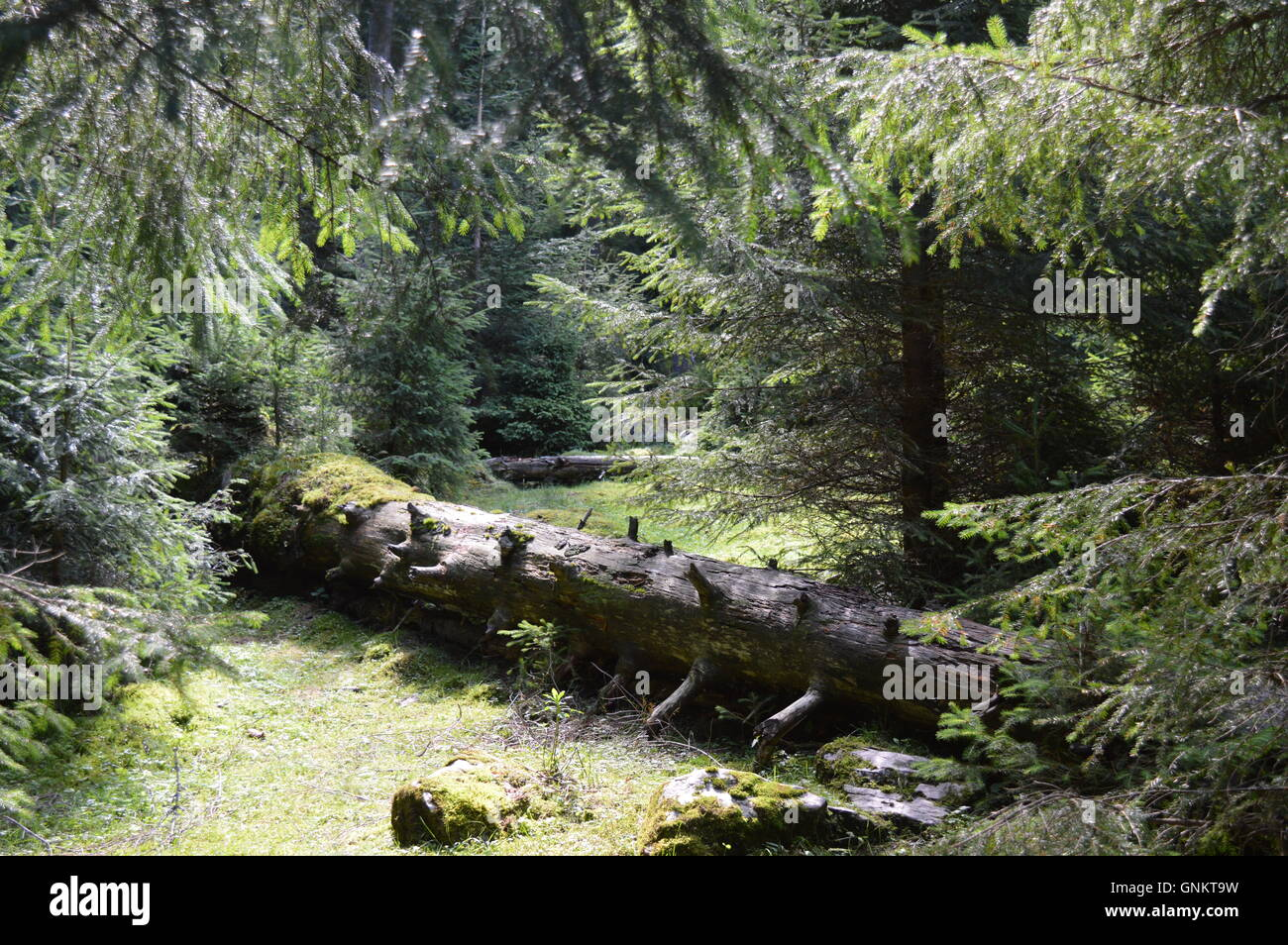 Fallen tree in a pine forest Stock Photo