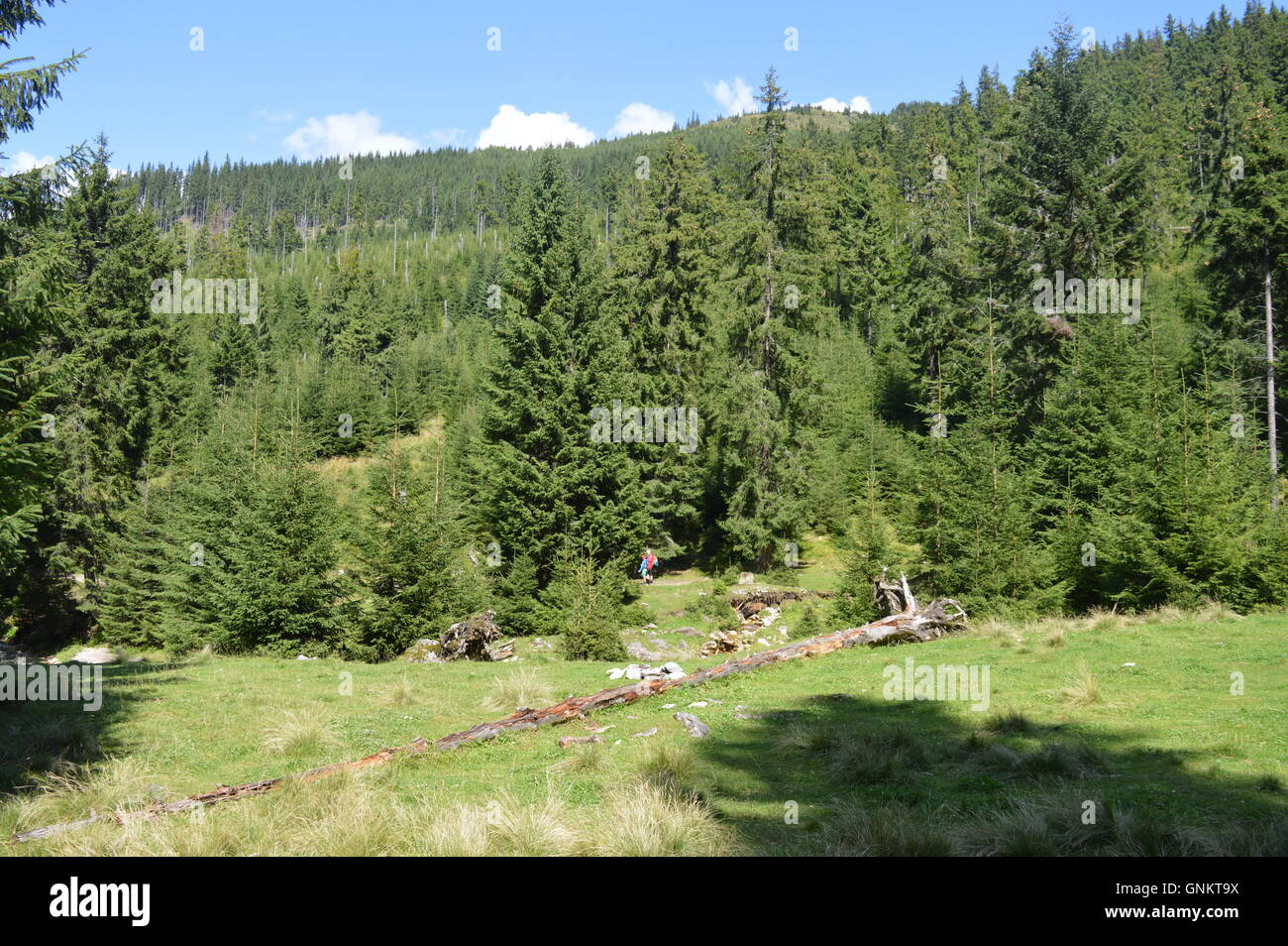A coniferous forest - Stock Image