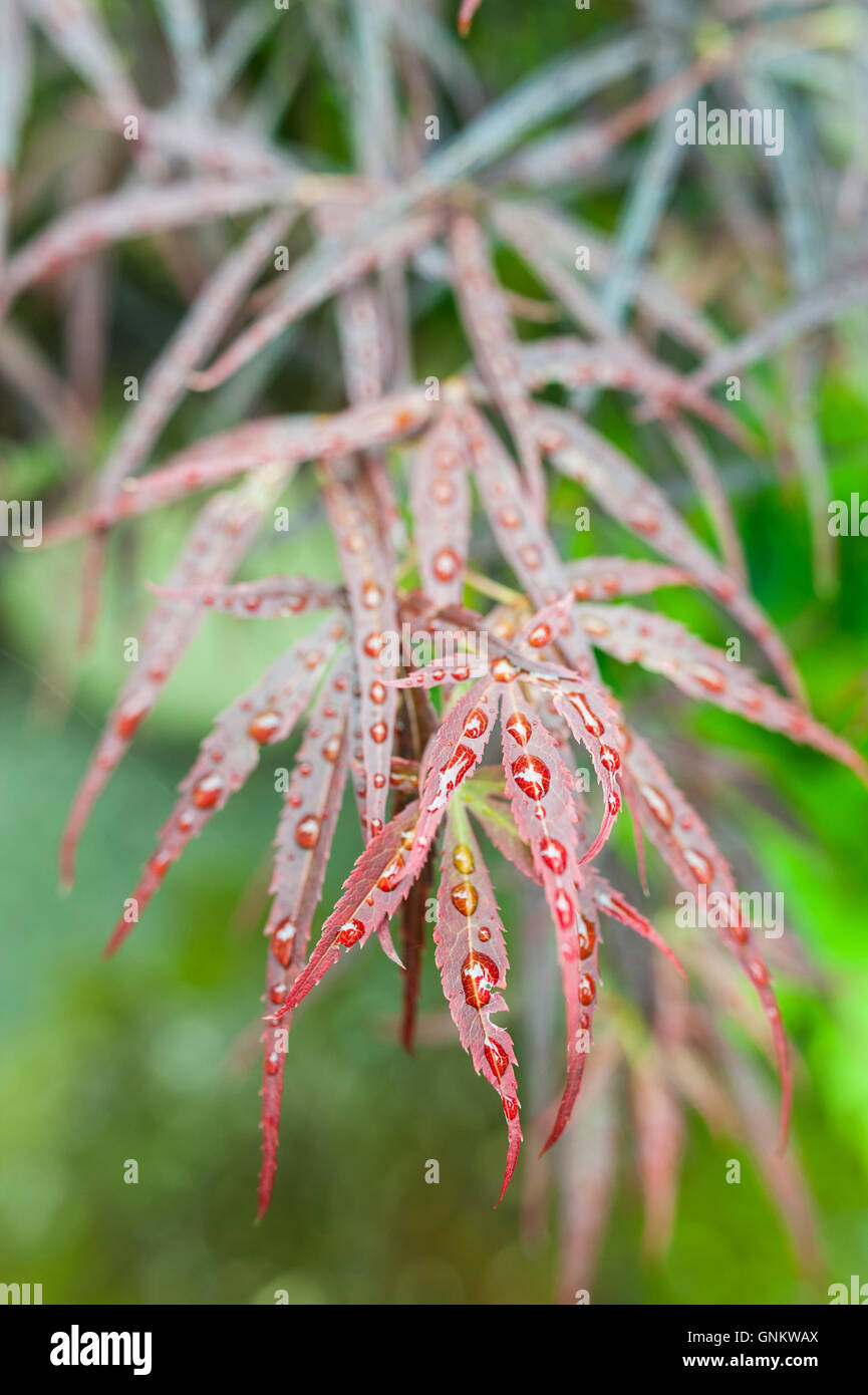 Close up of red Japanese Maple (Acer palmatum) leaves covered in water  drops. Stock Photo