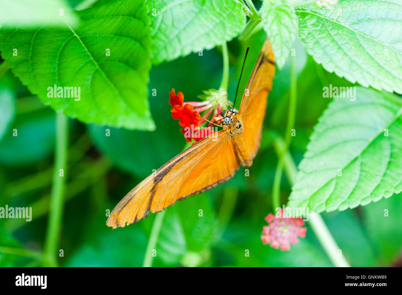 Orange Julia Heliconian or Dryas iulia butterfly, a species of brush-footed butterfly, perched on a flower - Stock Image