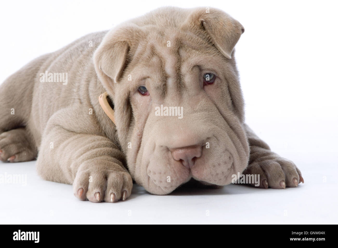 Chinese Shar Pei puppy dog  wrinkles wrinkled wrinkle wrinkly  puppies dogs baggy skin flesh fold folds of cute - Stock Image