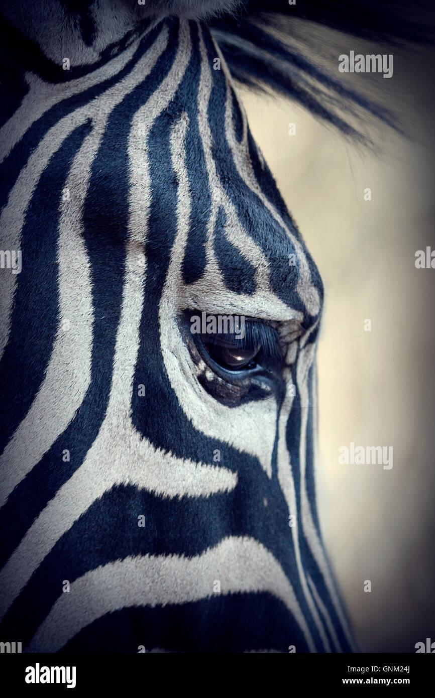 Zebra Face, detailed close up image - Stock Image