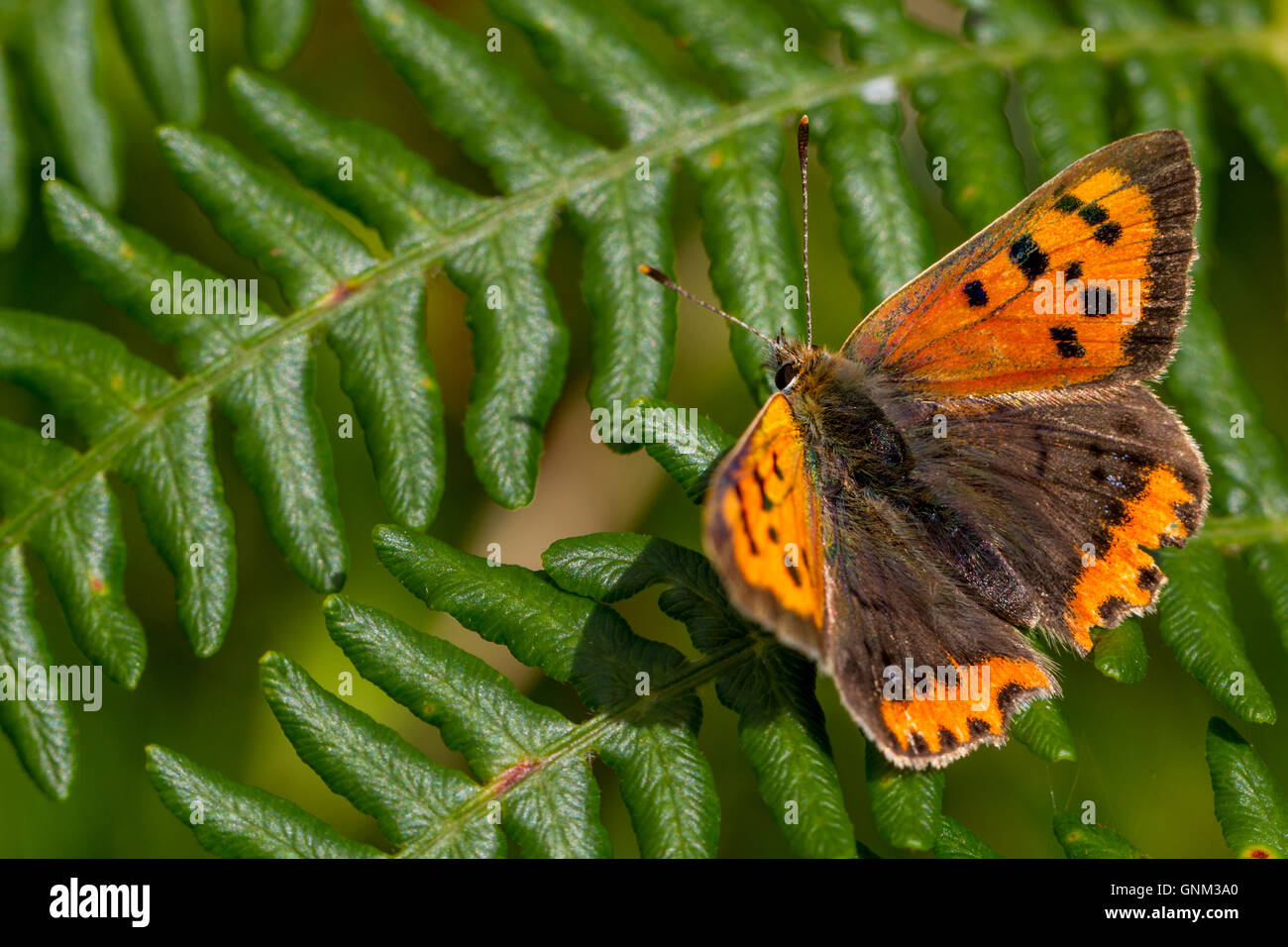 Small copper butterfly resting on fern, Yorkshire, UK - Stock Image