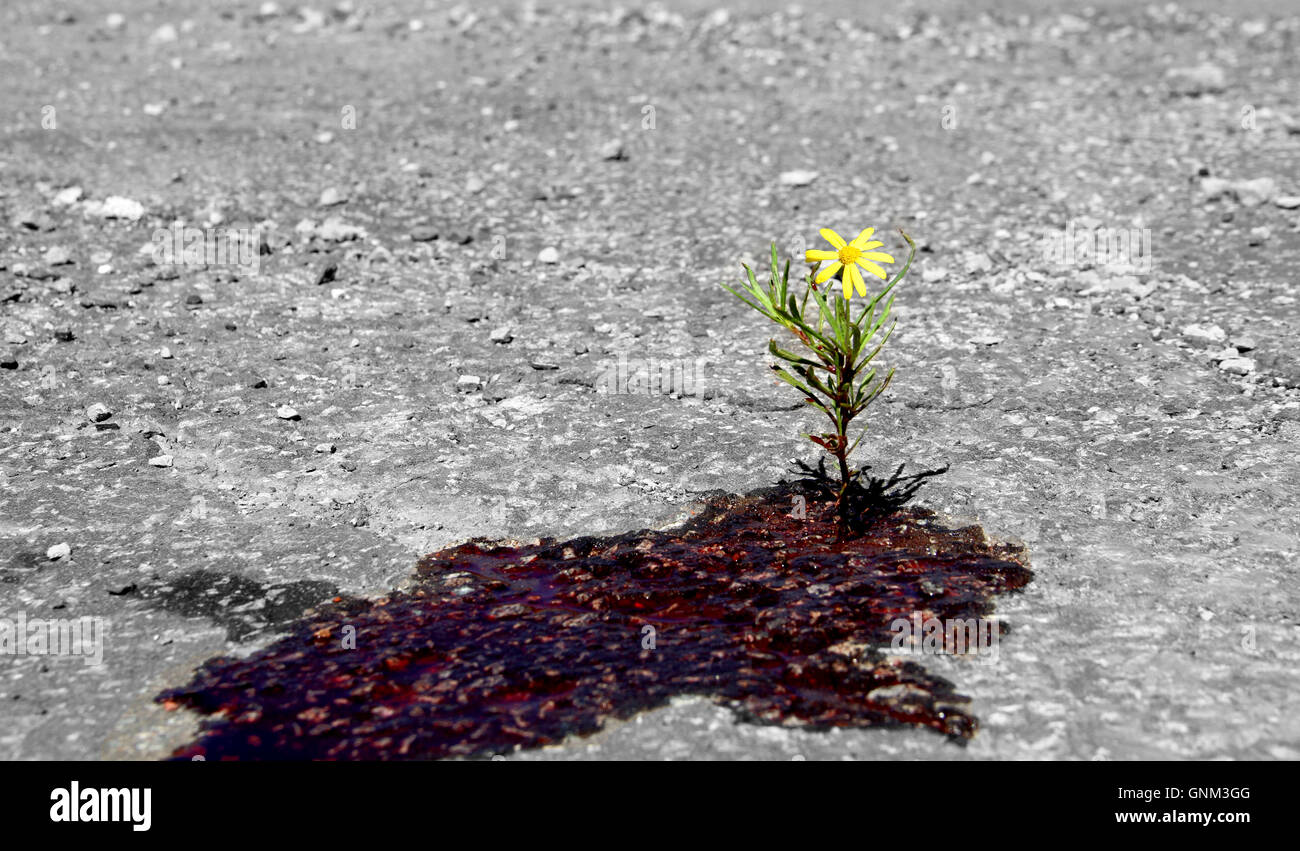 Flower keeps growing through blood, resilience, rebirth post traumatic event, resistance of life against traumatic - Stock Image