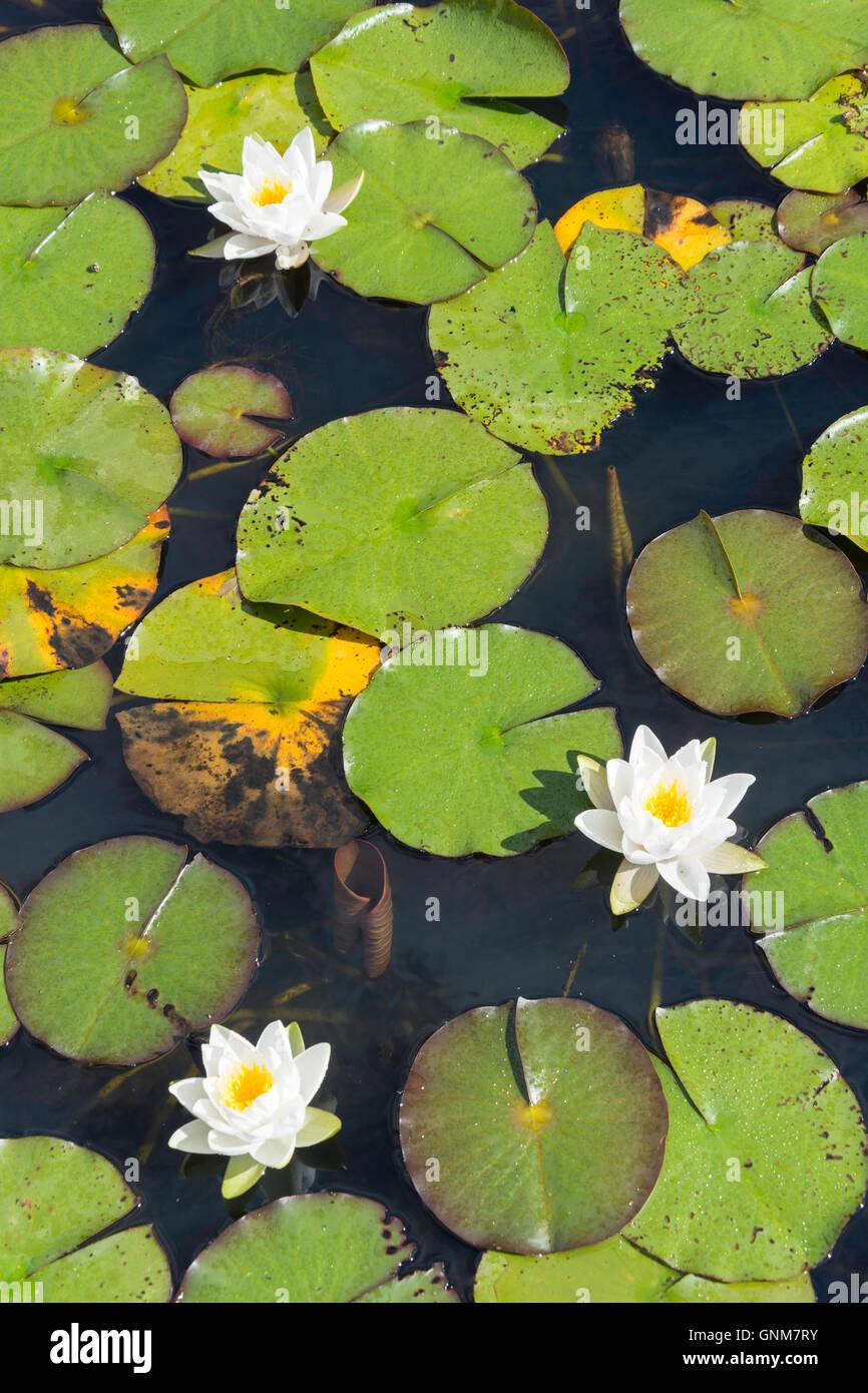 Lily pond at Horwood House, Mursley Road, Little Horwood, Buckinghamshire, England, United Kingdom - Stock Image