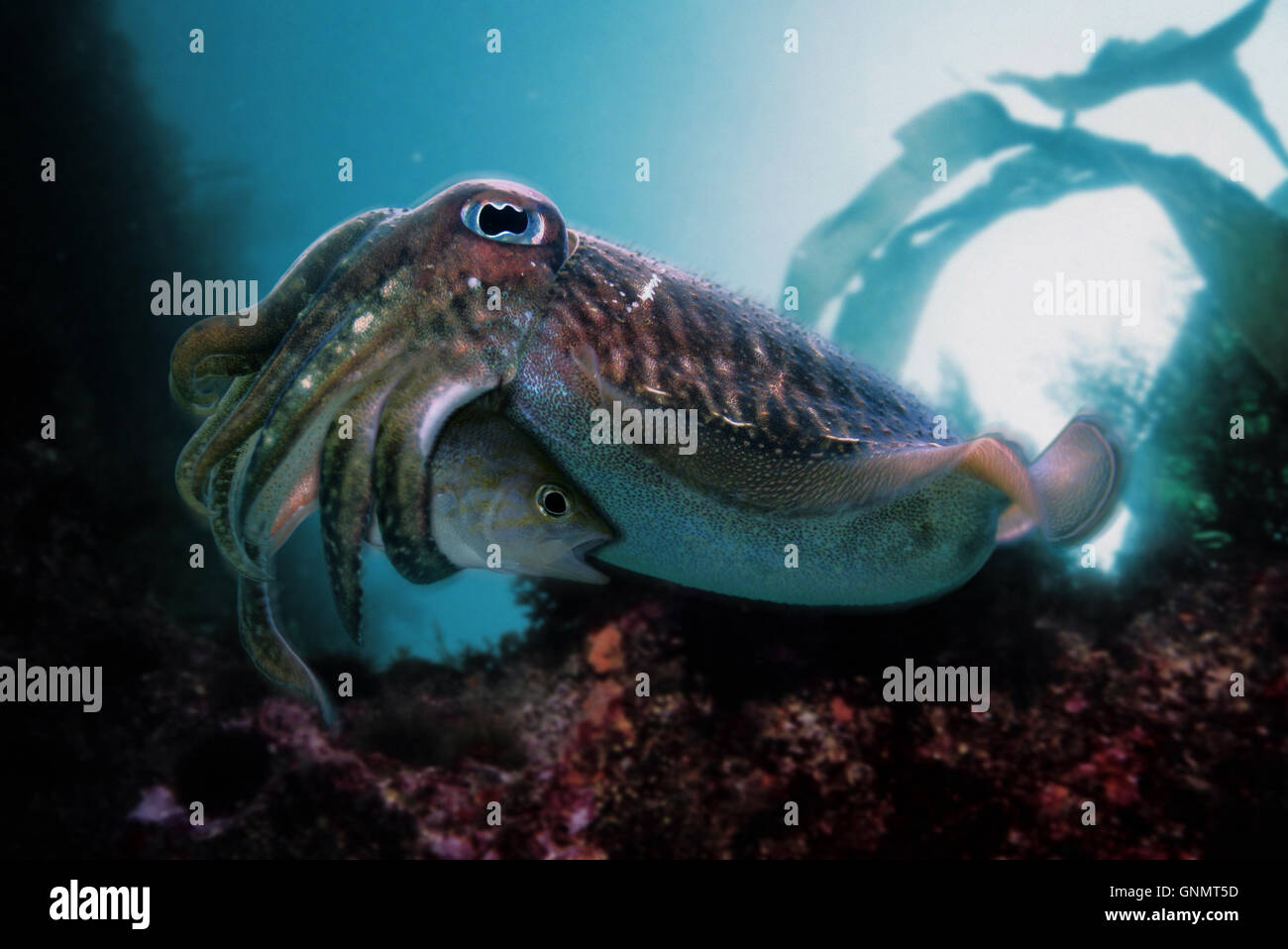 Common cuttlefish or European common cuttlefish, Sepia officinalis. Eating a Brown comber, Serranus hepatus. Portugal - Stock Image