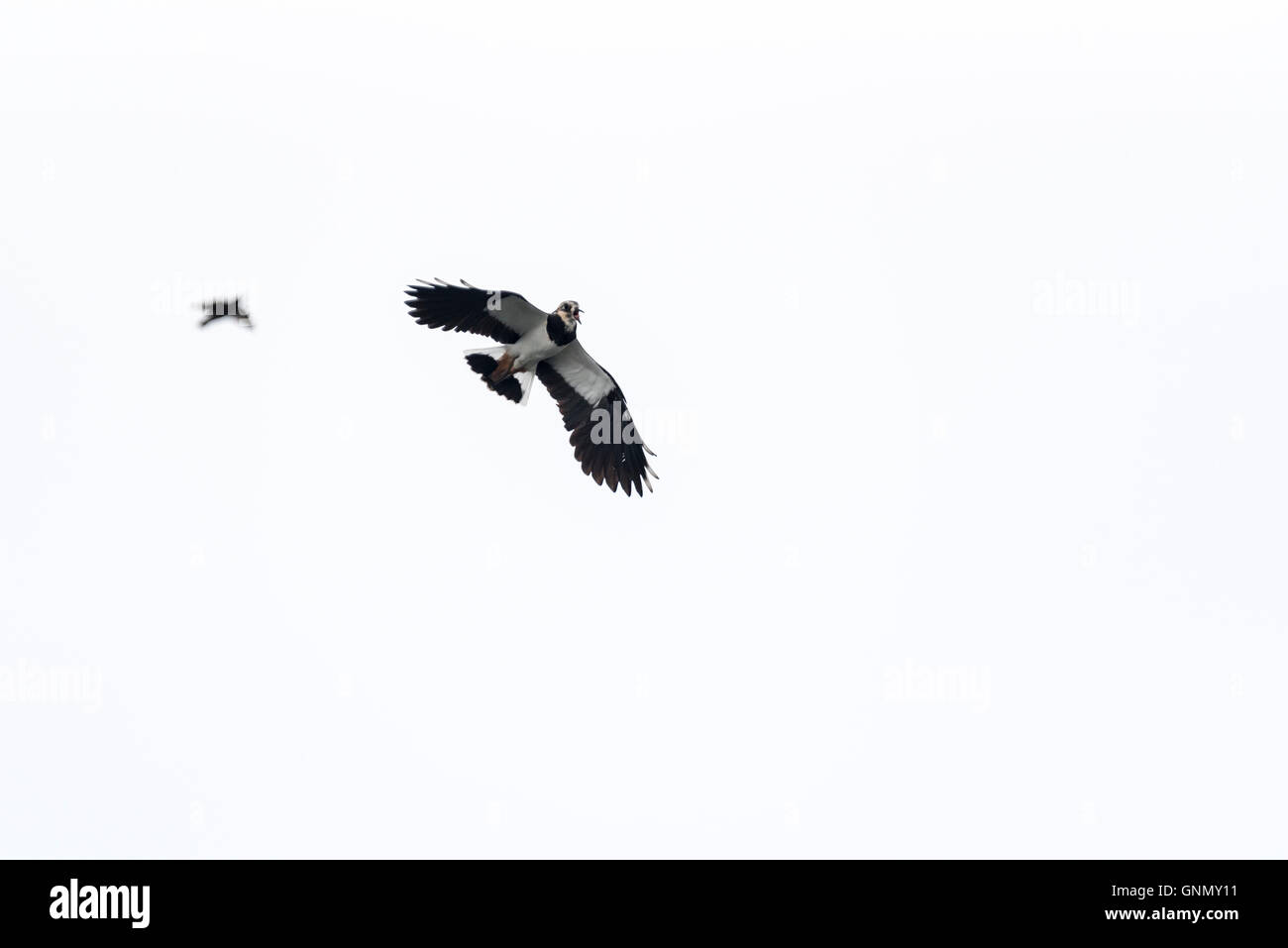 A Lapwing calling whilst flying Stock Photo