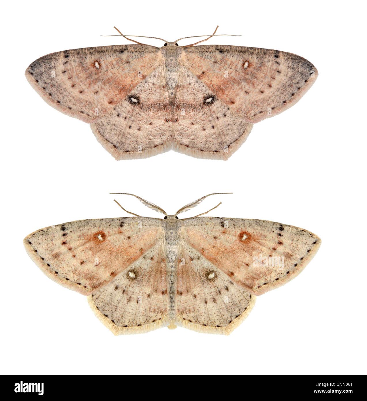 70.032 (1677) Birch Mocha - Cyclophora albipunctata - Stock Image