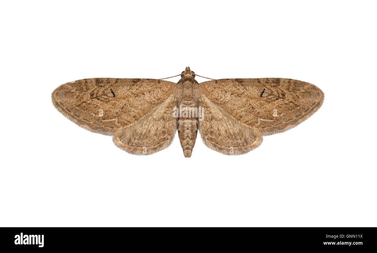 70.169 (1849) Angle-barred Pug - Eupithecia innotata Stock Photo