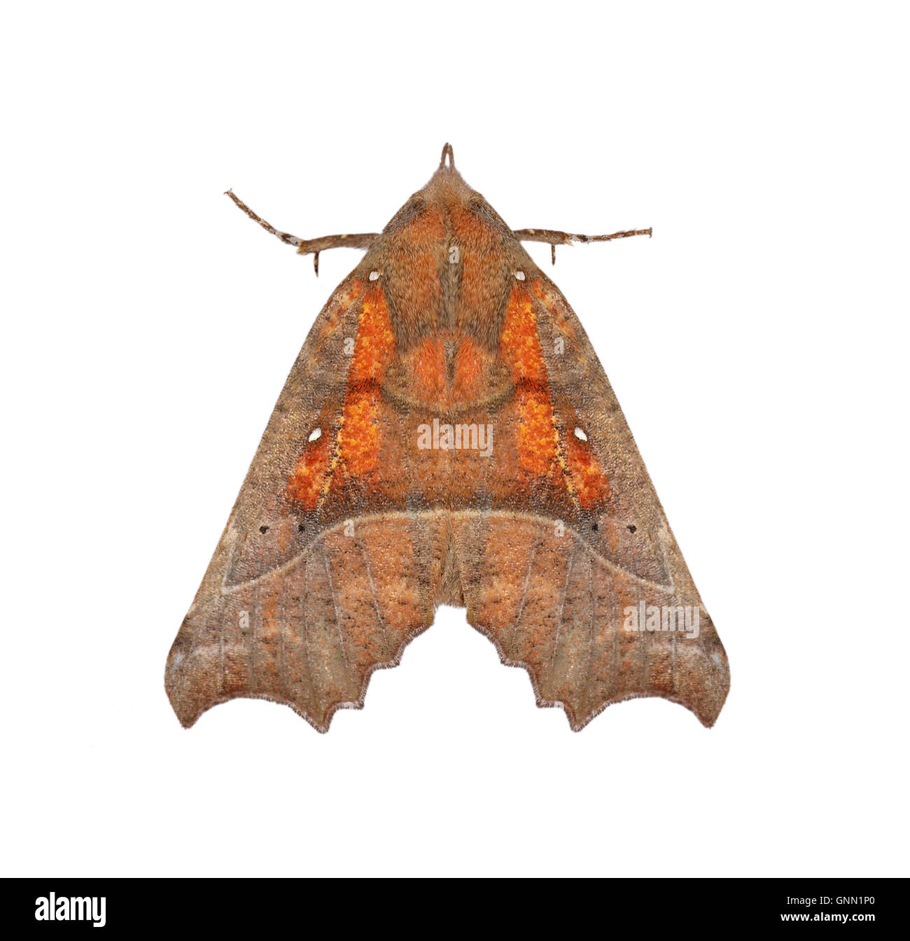 72.001 (2469) Scoliopteryx libatrix - Stock Image