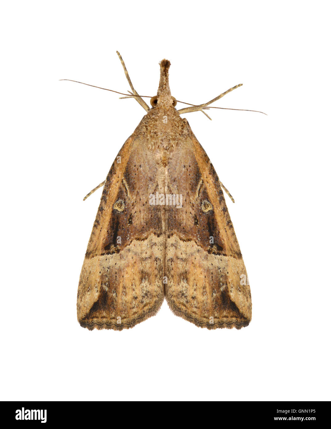 72.004 (2480) Buttoned Snout - Hypena rostralis - Stock Image
