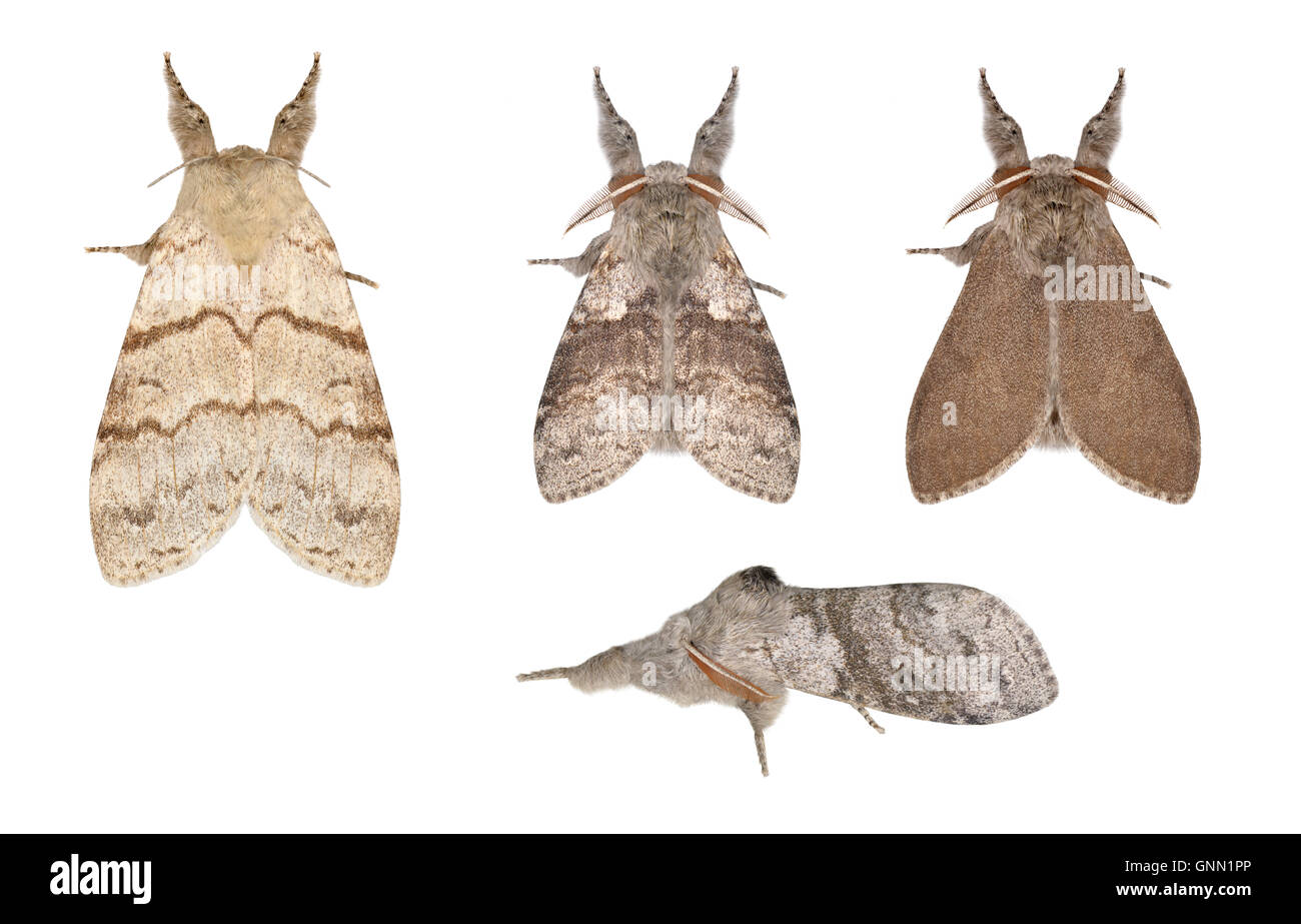72.015 (2028) Pale Tussock - Calliteara pudibunda - Stock Image