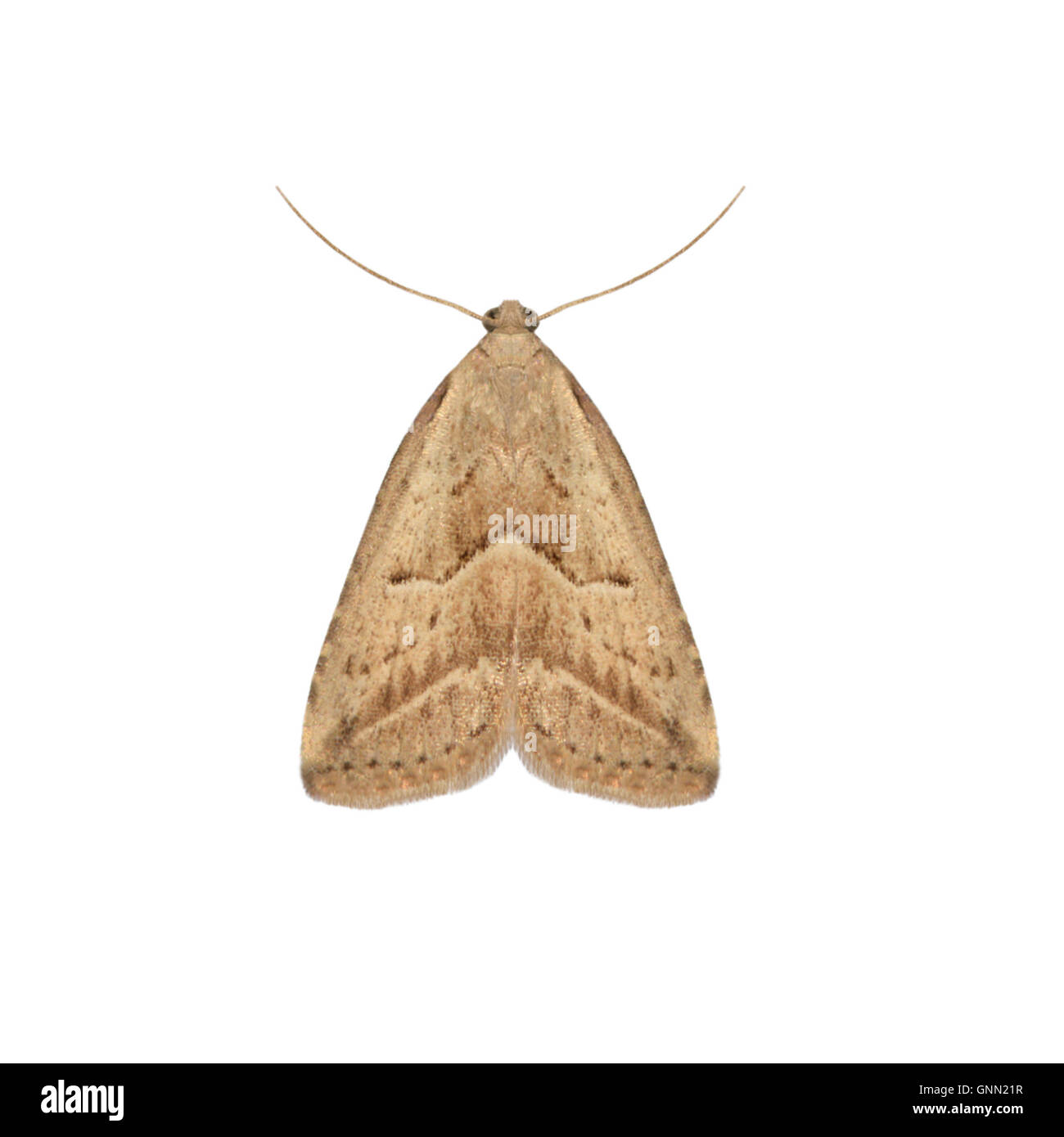 Marsh Moth Cut Out Stock Images Amp Pictures Alamy