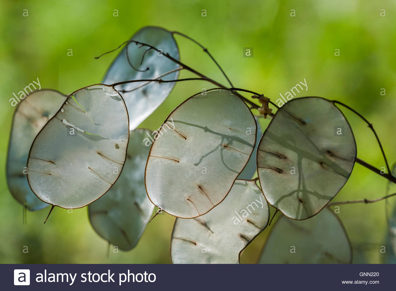 Lunaria annua seed heads - Stock Image