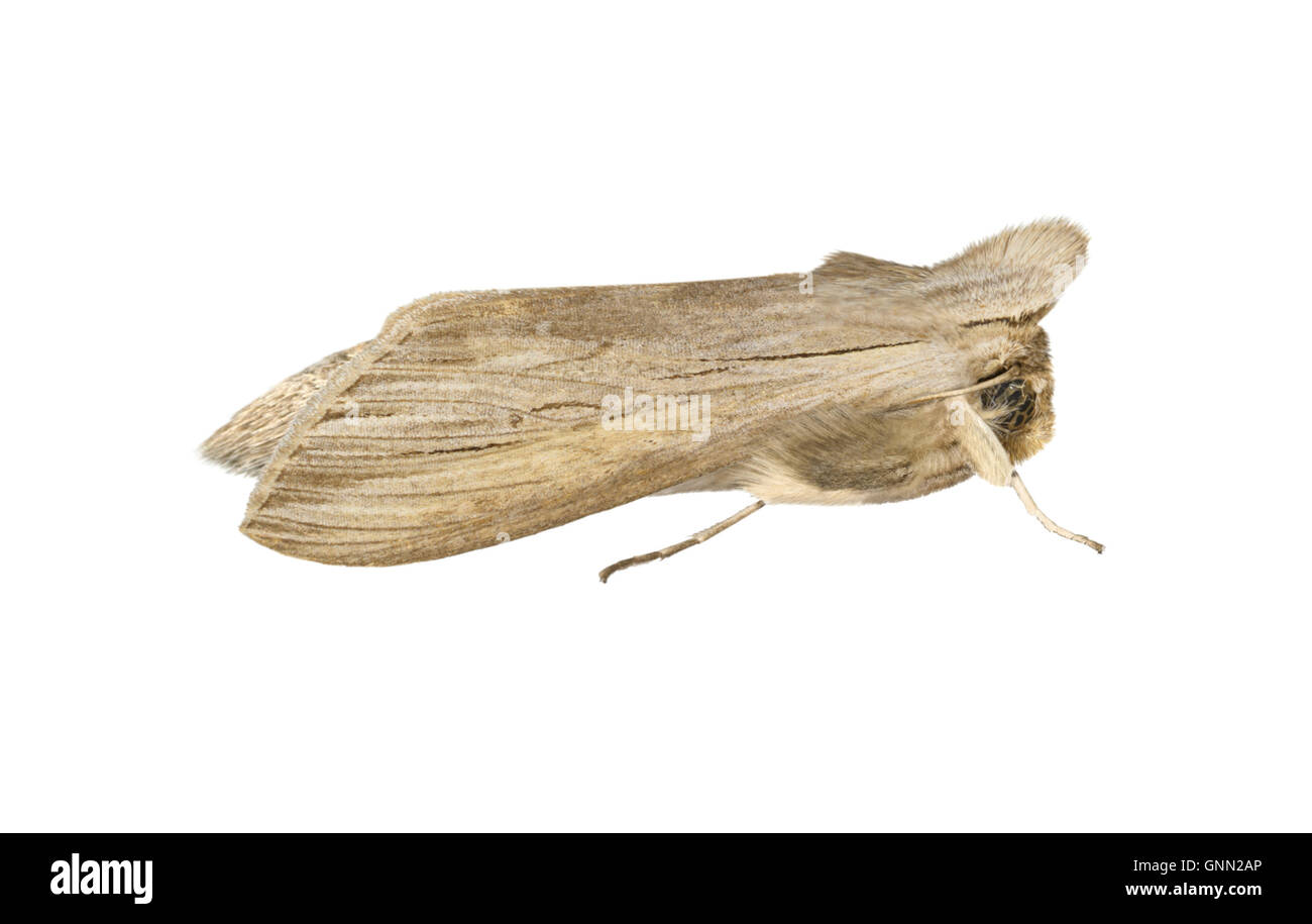 73.052 (2216) Shark - Cucullia umbratica - Stock Image