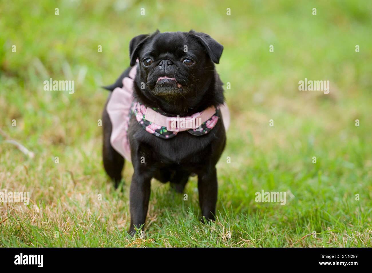 pug dog in a tutu - Stock Image