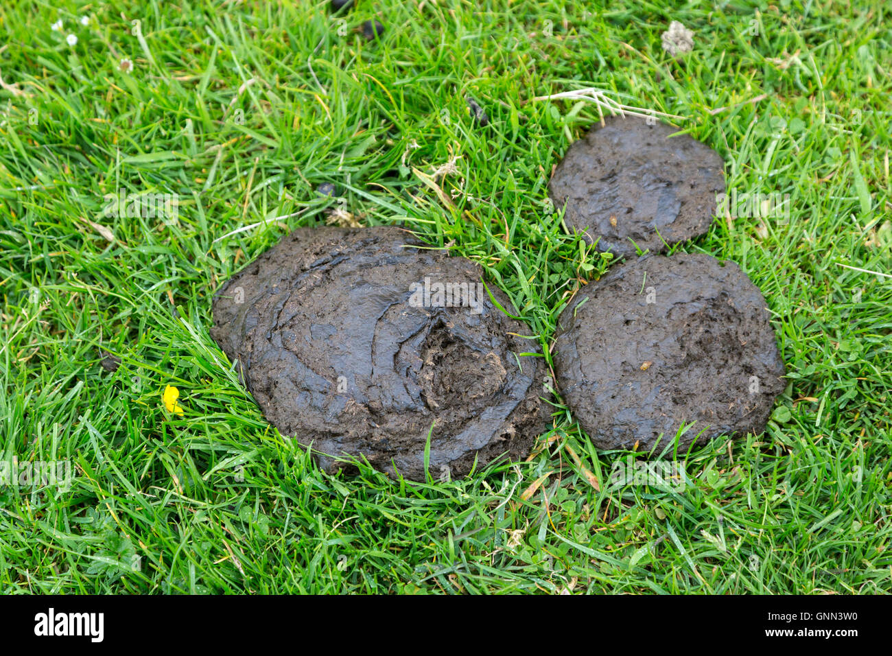 Northumberland, England, UK. Cow Manure in a Pasture on Hadrian's Wall Footpath. Stock Photo