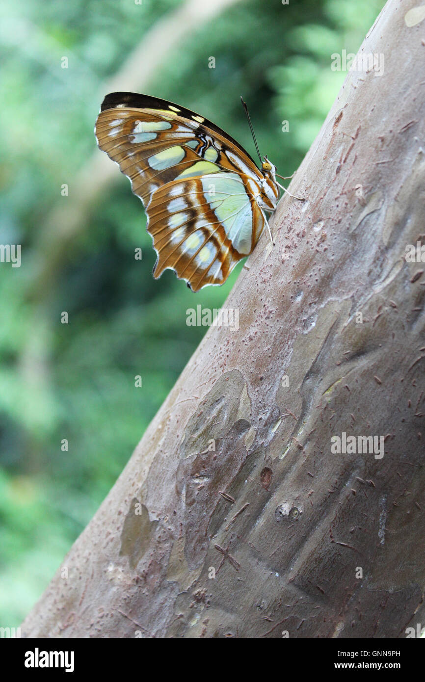 A malachite (Siproeta stelenes) is a neotropical brush-footed butterfly. - Stock Image