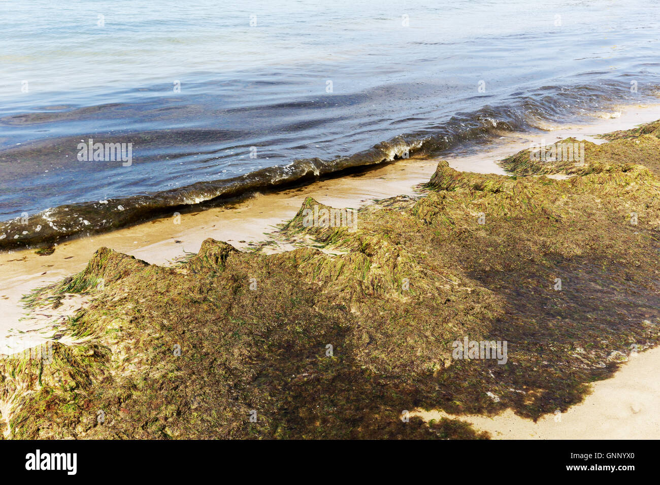 Baltic Sea coast is covered with rotting seaweeds - Stock Image